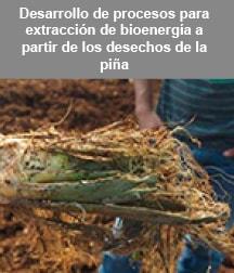 Desechos del cultivo de la piña